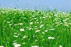 Meadow: Camomile flowers Stock Photo