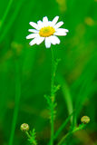 Meadow: Camomile flowers. Spring meadow with camomile flowers Royalty Free Stock Image