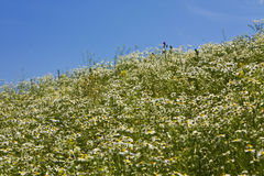 Meadow with camomiles Stock Photography