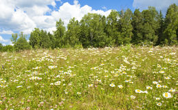 Meadow with camomiles Stock Image