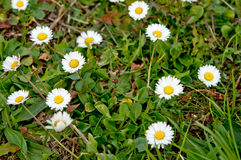 Meadow of chamomile Royalty Free Stock Photography