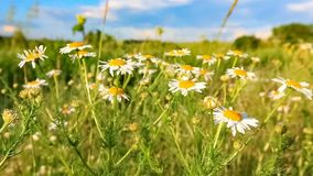 Meadow of chamomile flowers stock video footage