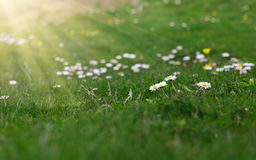 Meadow chamomile on a green background. Meadow chamomile on a green background with shining sun Stock Photos
