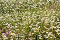 Meadow of chamomiles in the nature Stock Image
