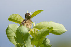 Meadow Chat. Sitting between the green leaves Stock Photography