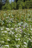 Meadow with chervil and sorrel Stock Image