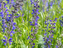 Meadow clary flowers Royalty Free Stock Photo