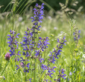 Meadow clary flowers Stock Photo