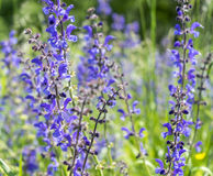 Meadow clary flowers Stock Images