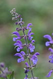 Meadow clary or meadow sage flower. Salvia pratensis royalty free stock photography
