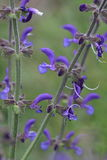 Meadow clary or meadow sage flower. Salvia pratensis royalty free stock photos