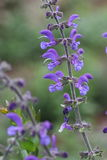 Meadow clary or meadow sage flower. Salvia pratensis stock photos