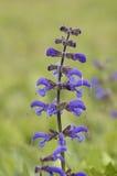 Meadow Clary Royalty Free Stock Photo
