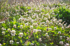 Meadow with clover Royalty Free Stock Photography