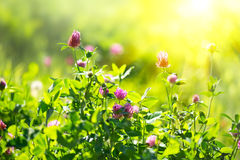 Meadow. Clover flowers on spring field stock image