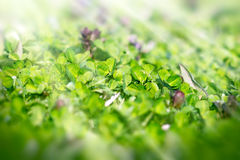 Meadow clover in  spring Stock Image