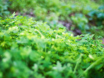 Meadow of Clovers stock image