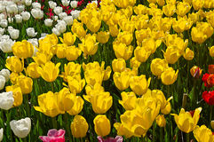 Meadow colored tulips Royalty Free Stock Photos