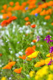 Meadow with colorful flowers Royalty Free Stock Photos
