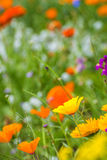 Meadow with colorful flowers Stock Photography