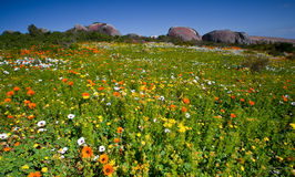 Meadow of colorful flowers Royalty Free Stock Images
