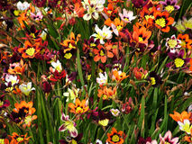 Meadow of Colors. Meadow of colorful flowers blooming. Bright colors are original, image not manipulated in photoshop stock photography