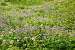 Meadow with conium maculatum and geranium pratense Royalty Free Stock Photos