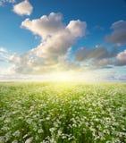 Meadow of coriander. Royalty Free Stock Photo