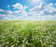Meadow of coriander. Stock Images