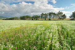 Meadow of coriander. Stock Photos