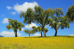 Meadow and cork oaks Stock Image