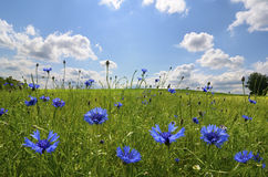 Meadow with corn flowers Stock Photography