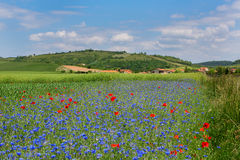 Meadow with cornflowers and poppies in Auvergne Stock Photo