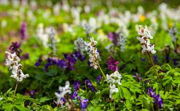 Meadow with Corydalis flowers of different colors Stock Image