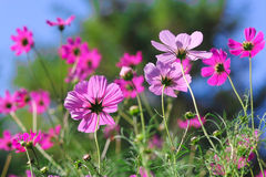 Meadow with cosmea Stock Photography