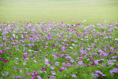 Meadow covered in cosmos, Stock Image
