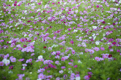 Meadow covered in cosmos, Royalty Free Stock Image
