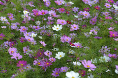 Meadow covered in cosmos, Stock Photography