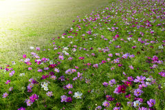 Meadow covered in cosmos Royalty Free Stock Photo