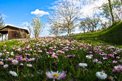 Meadow covered with flowers at early spring Royalty Free Stock Photo