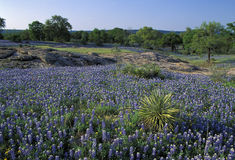 Meadow covered with Lupine. Also known as bluebonnets in the Texas Hill Country in the middle of Texas Stock Image