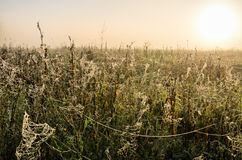 Meadow covered by spider webs Stock Photos