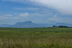 Meadow with cow in Royal Natal National Park in Drakensberg Royalty Free Stock Photos
