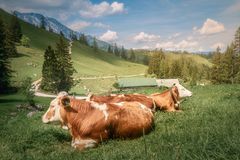 Meadow with cows in Berchtesgaden National Park. Beautiful view meadow between Konigsee and Obersee lakes near Jenner mount in Berchtesgaden National Park with stock image
