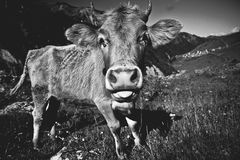 Meadow with cows i Royalty Free Stock Photography