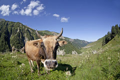 Meadow with cows i Royalty Free Stock Image