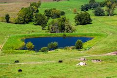 Meadow with cows and pool. Green grass meadow with grazing cows, a blue pool and trees Royalty Free Stock Photography