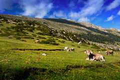 Meadow  with cows in summer day Royalty Free Stock Photo