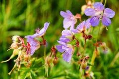 Meadow crane`s-bill Geranium pratense flowers Royalty Free Stock Photography