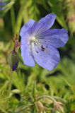Meadow Cranesbill Stock Image